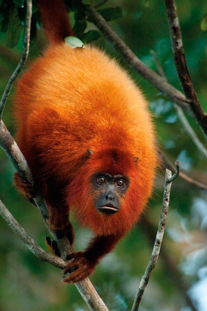 Guyana's interior is a rich refuge for wildlife, like this red howler monkey. Photo by Pete Oxford