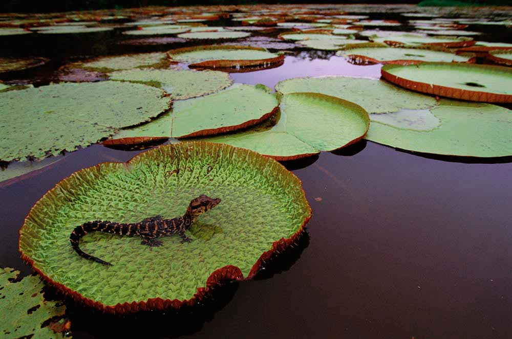 A baby caiman poses on the giant leaf of a Victoria amazonica waterlily. Photo by Pete Oxford