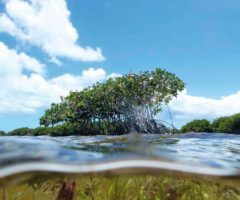 Mangroves and sea grass flourish in Barbuda's Codrington Lagoon. Photo courtesy Waitt Institute