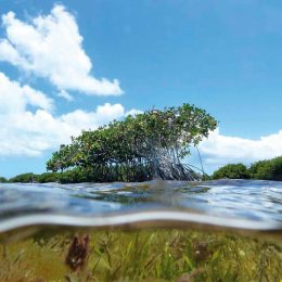 Mangroves and sea grass flourish in Barbuda's Codrington Lagoon. Photo courtesy Waitt Institute