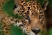 For wildlife watchers in Guyana, a glimpse of an elusive jaguar is a majestic prize. Photo by Pete Oxford