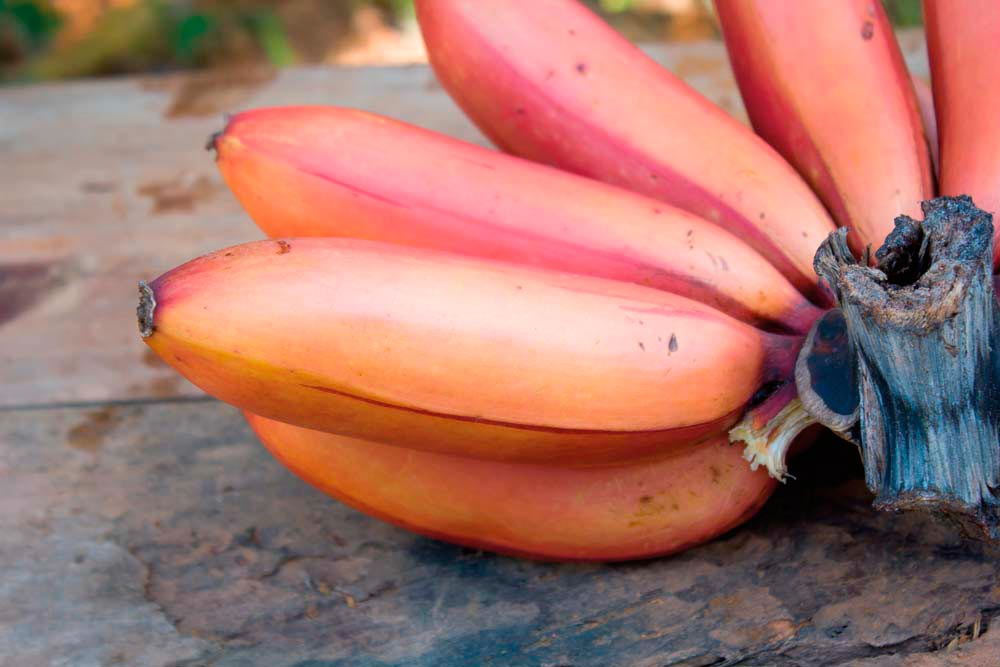 A bunch of mataboro fig, a variety of purple-skinned banana. Photo by Taira/Shutterstock.com