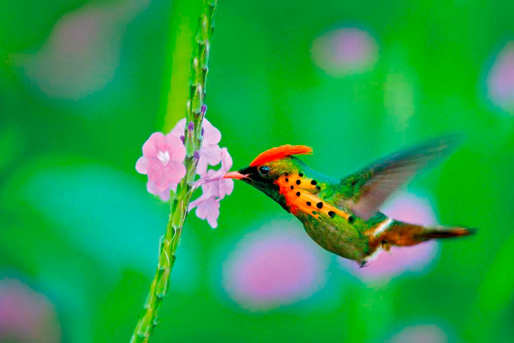 A colourful Tufted Cocquette poised for a sip of vervine nectar. Photo by Ondrej Prosicky/Shutterstock.com