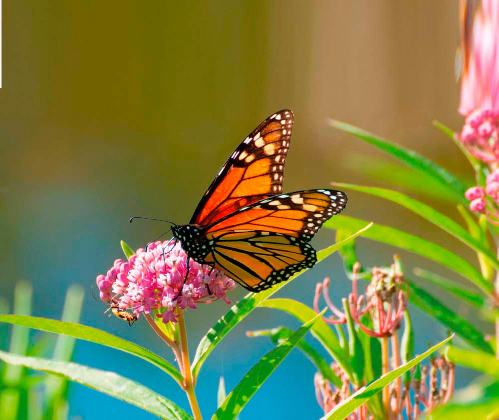 How to attract monarch butterflies to your home garden? Plant milkweed. Nancy Bauer/Shutterstock.com