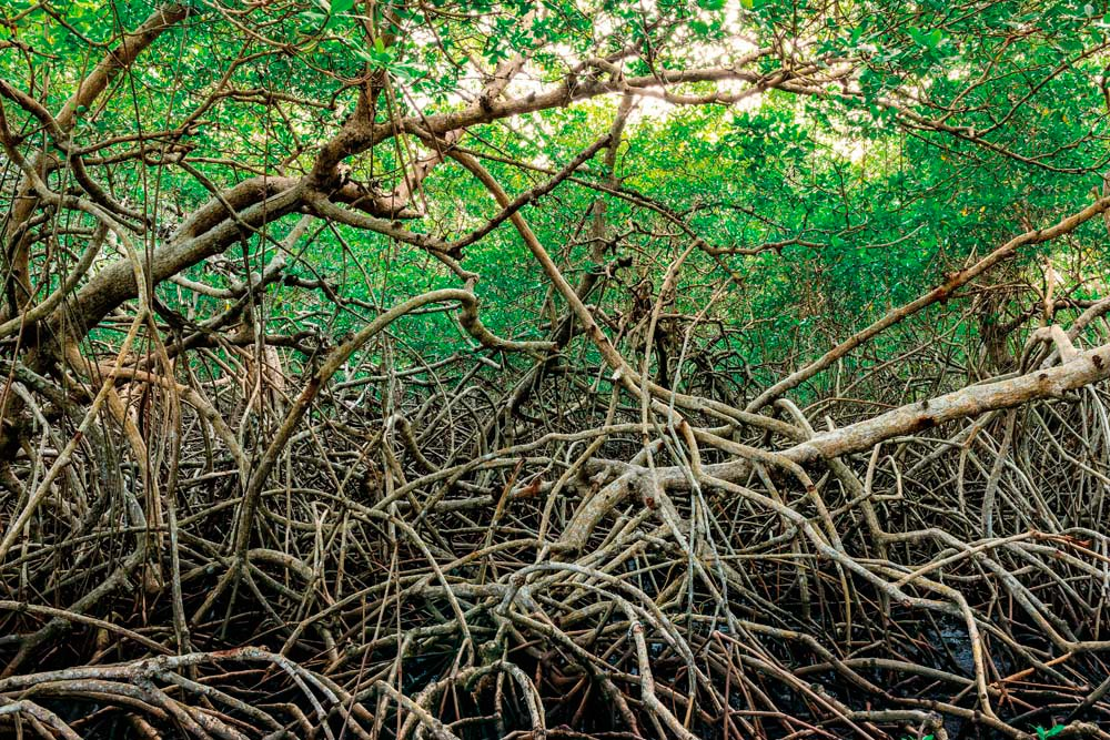 Tobago's mangrove wetlands are a refuge for wildlife. Altin Osmanaj / Shutterstock.com