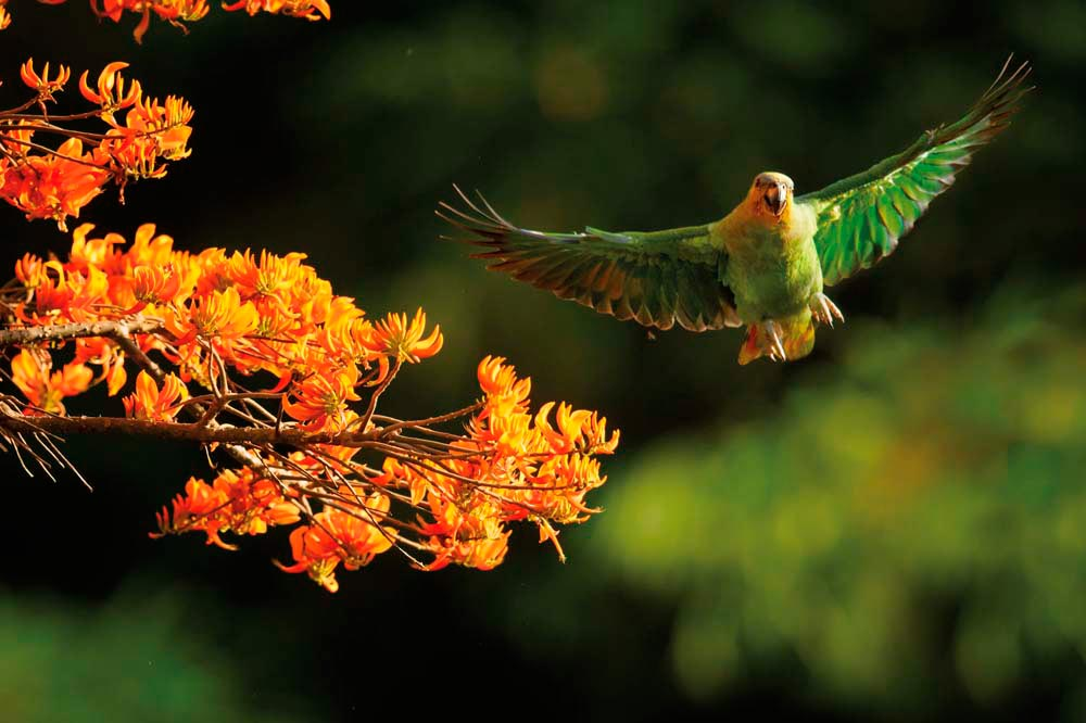 Tobago's Main Ridge is home to over two hundred bird species, like this parrot, swooping down on an immortelle tree. Martin Mecnarowski / Shutterstock.com