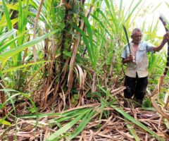 "Roopnarine Birbal, known to his friends as ""Sarge,"" cuts sugarcane on lands his family owns. . . . Photo by Andrea De Silva"