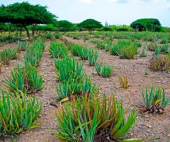Fields of spiky Aloe vera in Hato, Aruba. Photo by Jimmyvillalta/iStock.com