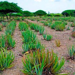 Fields of spiky Aloe vera in Hato, Aruba. Photo by Jimmyvillalta/iStock.com