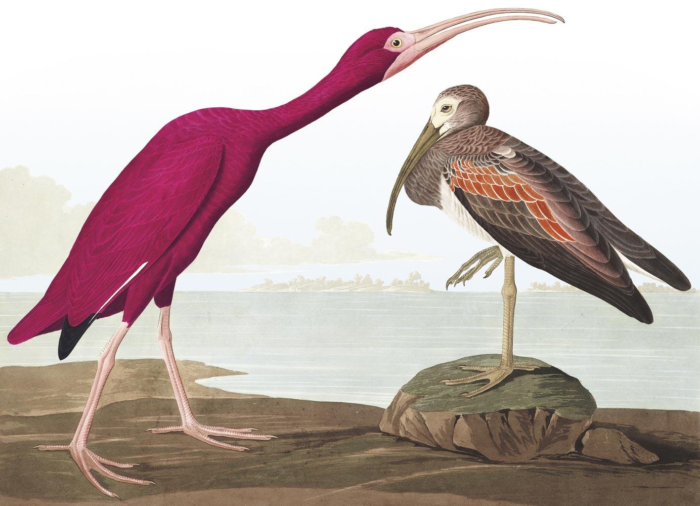 John James Audubon's Scarlet Ibis, from the landmark Birds of America. Courtesy The National Audubon Society