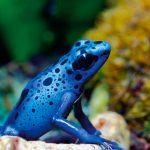 Born blue: Suriname's blue poison dart frog