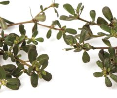 Often dismissed as a weed, purslane is rich in vitamin E. Photo by Wasanajai/Shutterstock.com