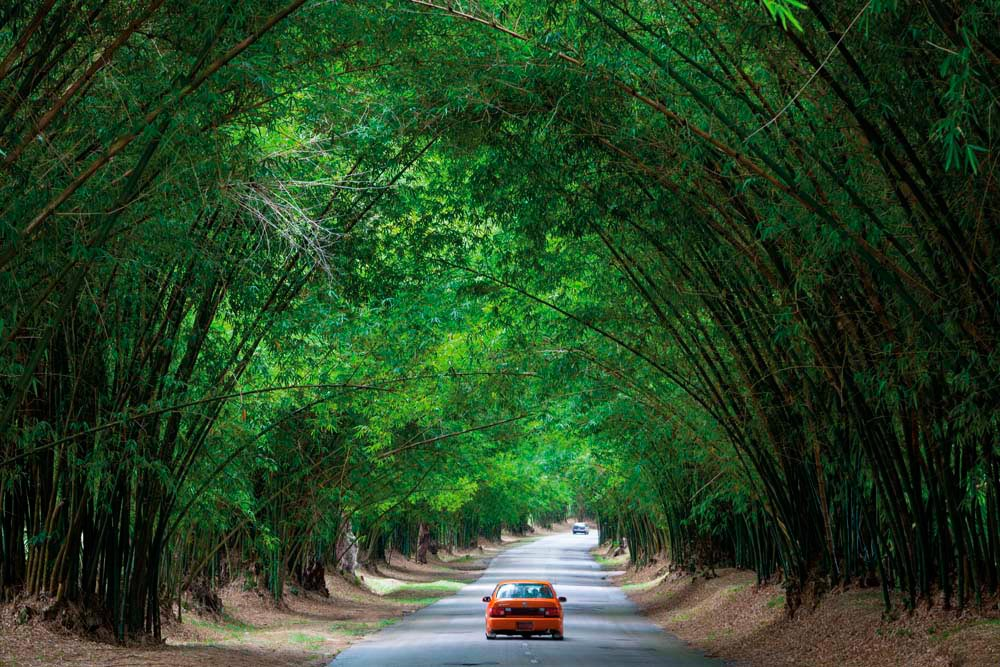 In St Elizabeth Parish, between the villages of Middle Quarters and Lacovia, Bamboo Avenue stretches for two and a half miles through a natural green tunnel. Photo by Doug Pearson/AWL/Getty