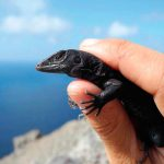 Redonda rescue — saving its native species | Green