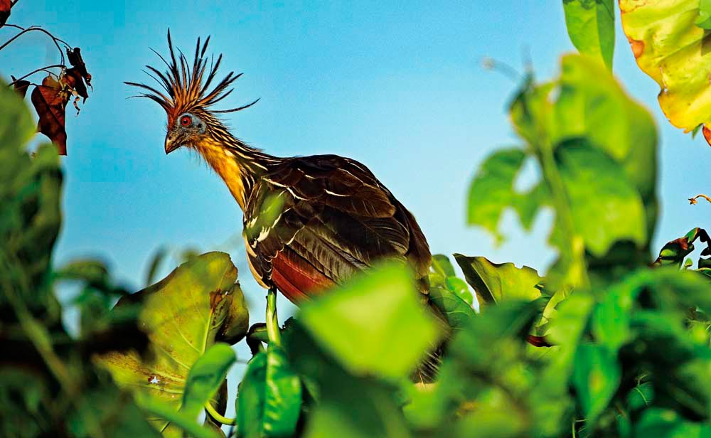 A hoatzin, Guyana's national bird. Photo by Dr Horst Vogel