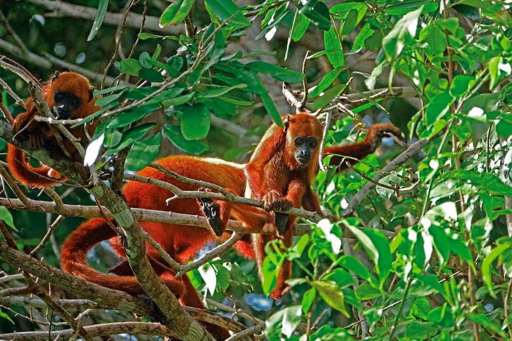 Red howler monkeys. Photo by Dr Horst Vogel