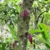 Kristine De Abreu-cocoa tree