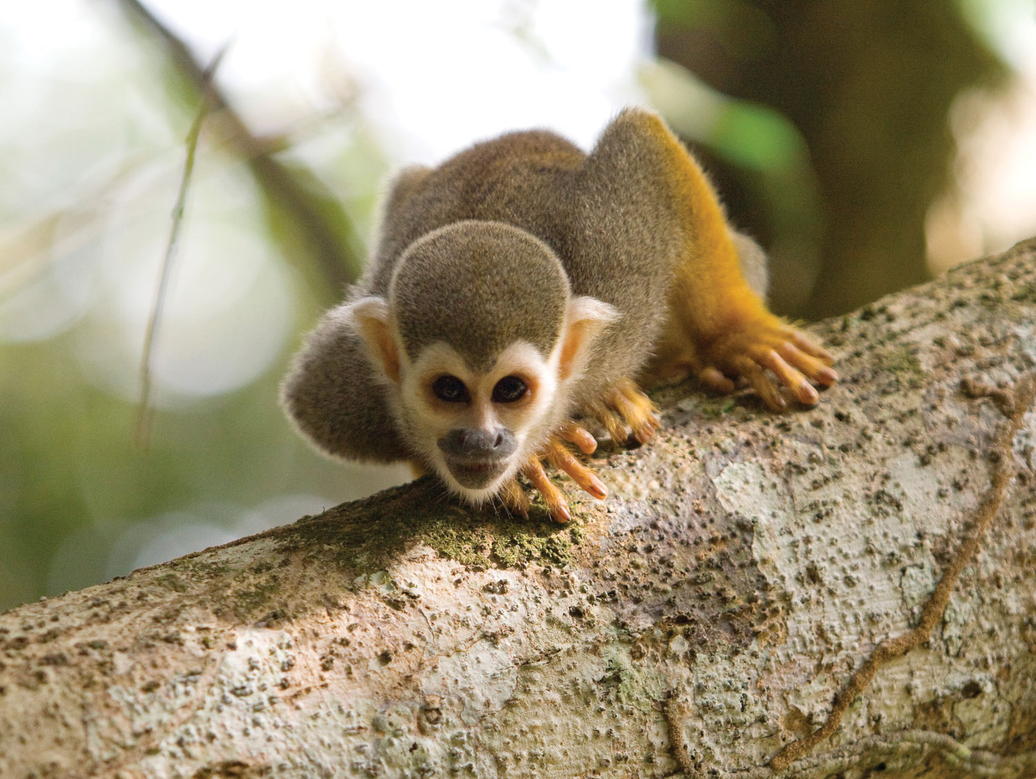 A squirrel monkey on Foengoe Island at Raleighvallen, in the reserve. Photograph by Andy Isaacson