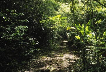 Trail through the Chaguaramas forest. Photograph by Mark Lyndersay
