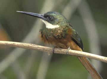Male rufous-tailed jacamar, a common bird of Trinidad and Tobago's forests. Photograph by Stephen Broadbridge