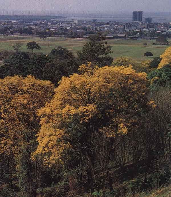 Yellow pouis above the Queen's Park Savannah. Photograph by Noel Norton