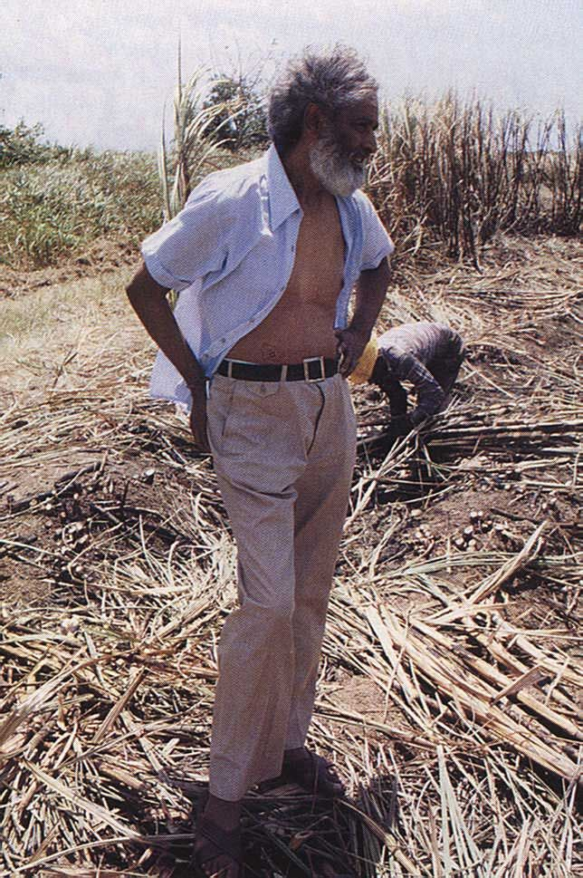 Trinidad's sugar cane fields provided the imaginiative setting for much of Selvon's work. Photograph by Bruce Paddington