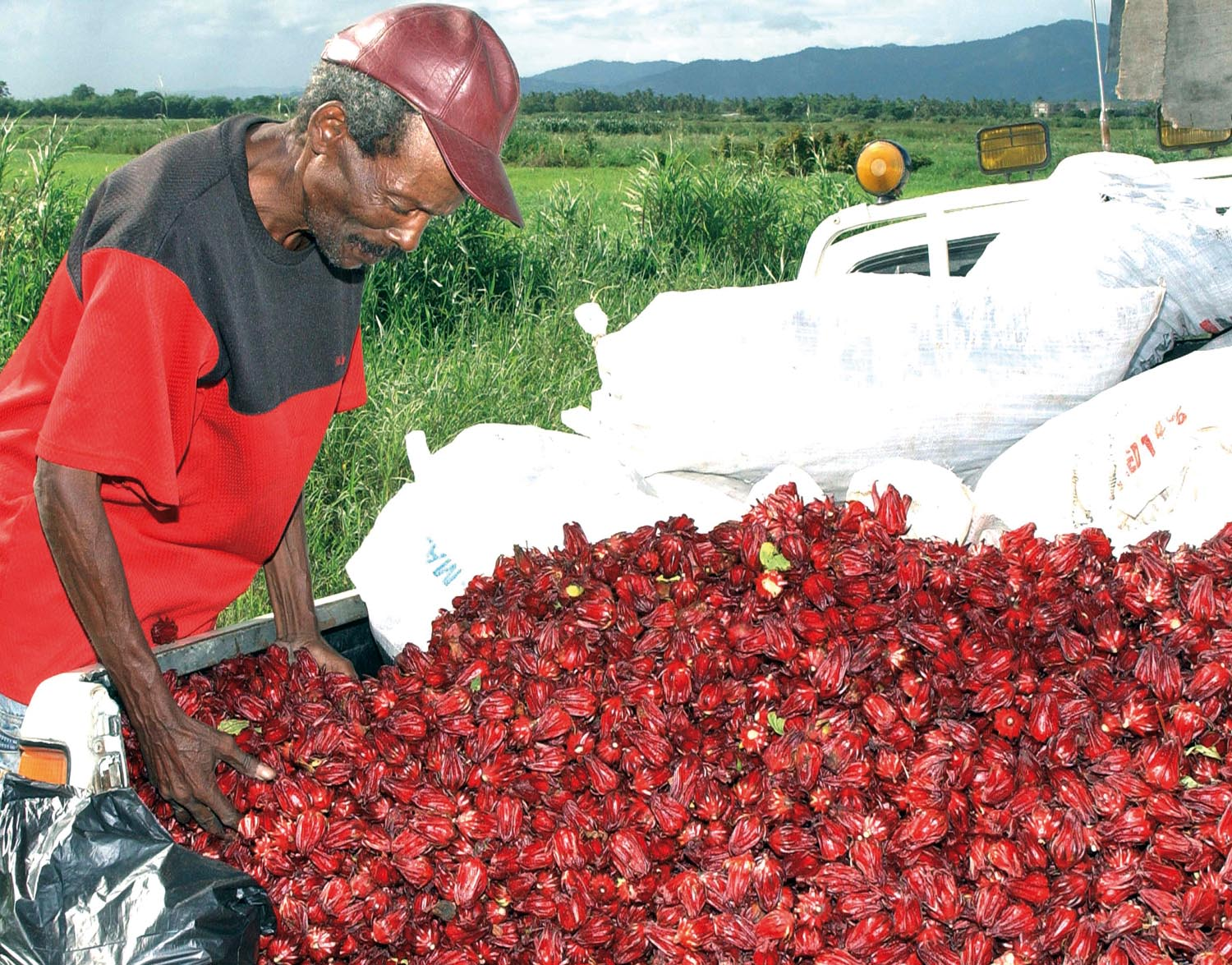 Heaps of deep red sorrel piled high in the car trunks of a roadside vendor in Trinidad. Photograph by Robert Taylor
