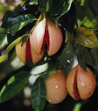 Grenada's nutmeg is world-famous for its quality. Photograph courtesy the Grenada Board of Tourism