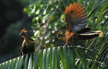 Hoatzin balance on a palm frond. Photograph by South America Team/Foto Natura
