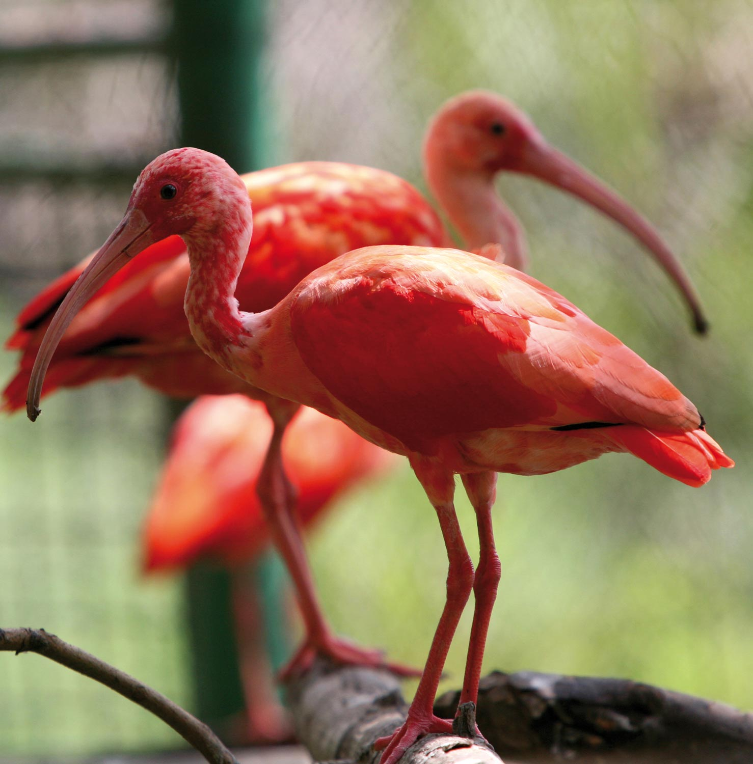 Scarlet ibis keep watch while perched on a rod at the Wild Fowl Trust, Pointe-à-Pierre. Photograph by Andrea De Silva