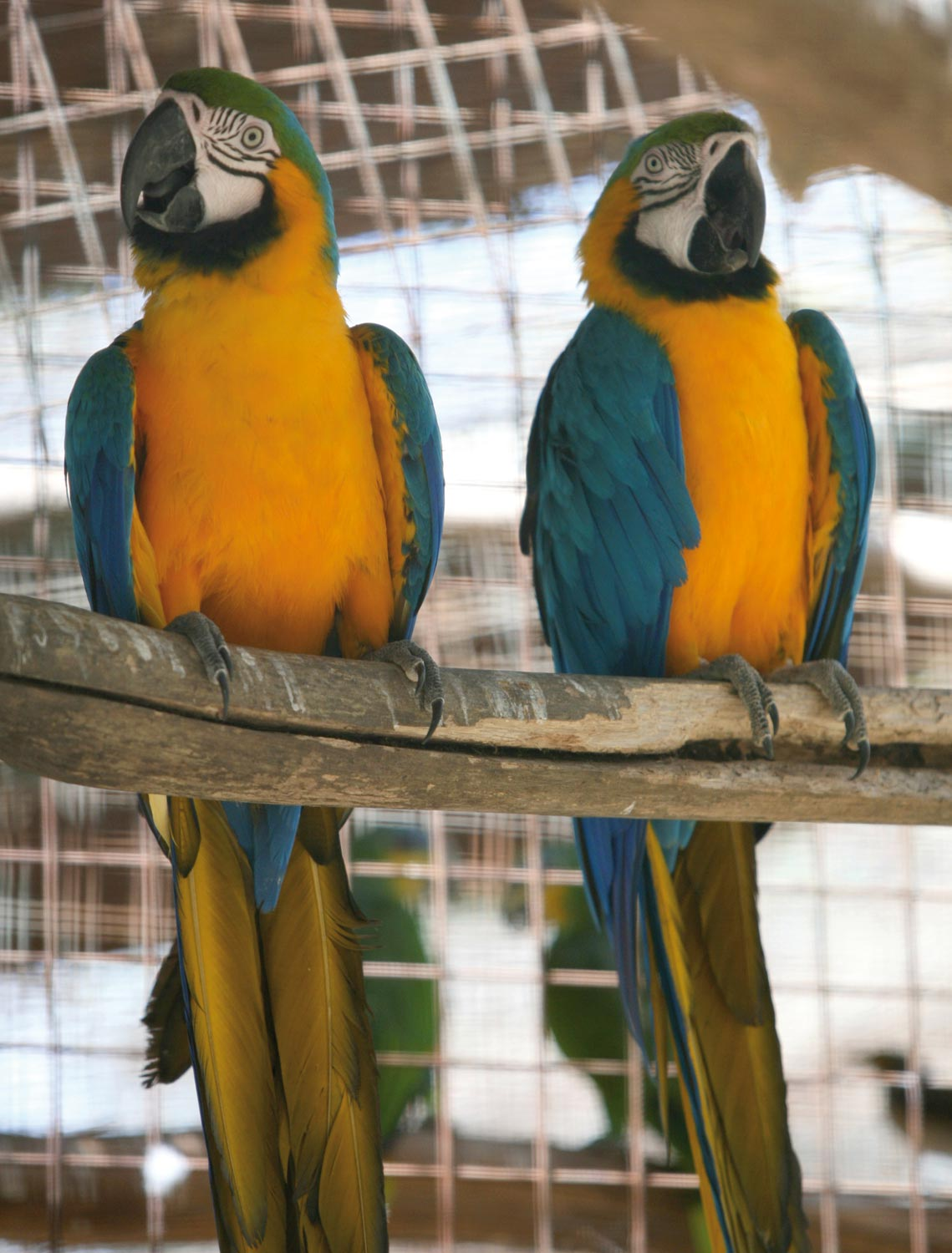 A pair of macaws put on a colourful display. Photograph by Andrea De Silva