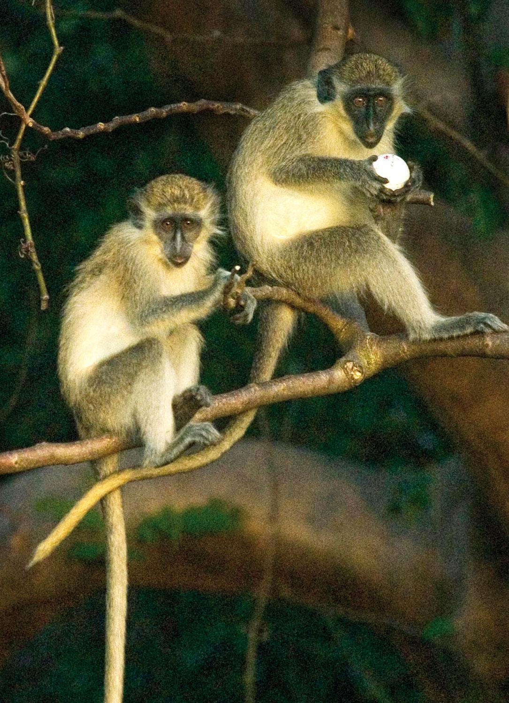 Green monkeys, Sandy Lane. Photograph by Paul Marshall