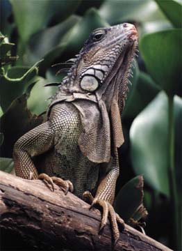 Iguana- Costa Rica is home to over 200 reptile species
